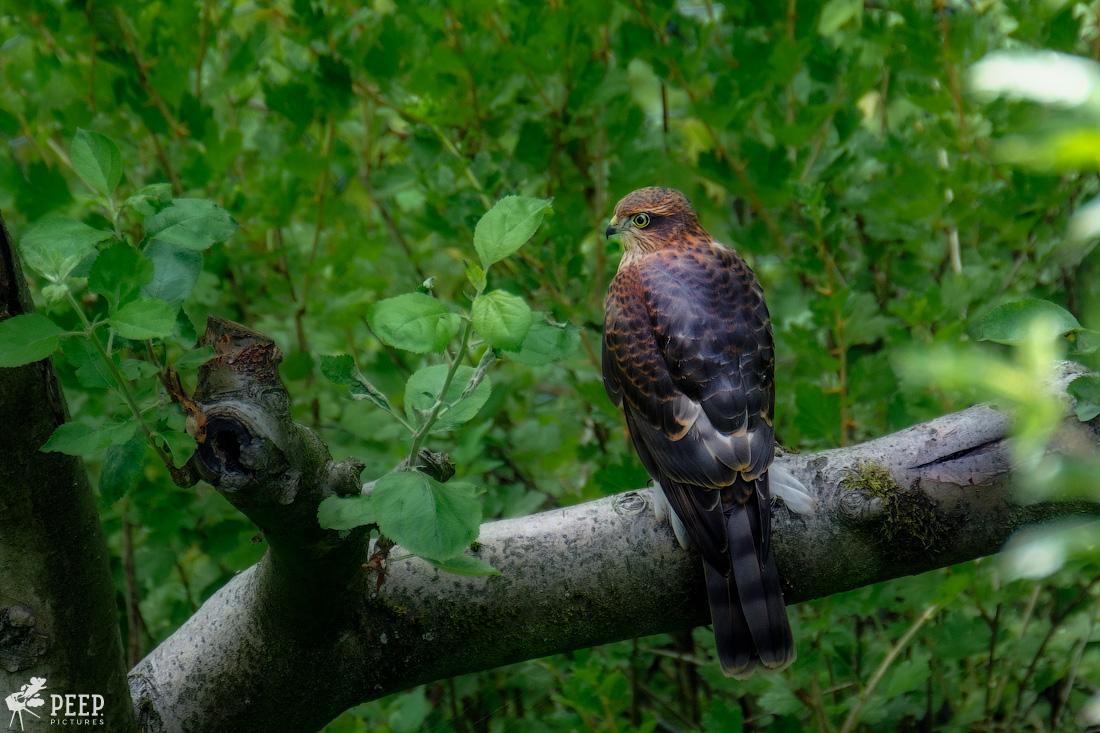 https://img.ewelt.org/pics/upashi/Tiere/Birds/2018/20170715_163038_X-T2_3907-Edit.jpg