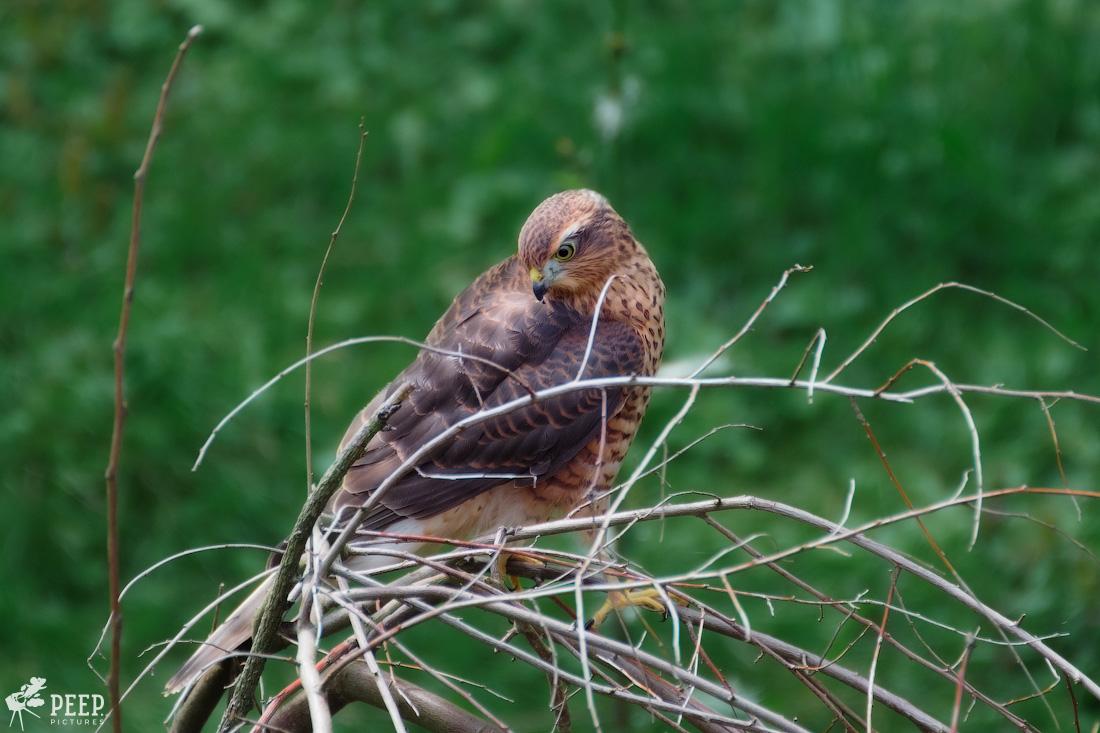 https://img.ewelt.org/pics/upashi/Tiere/Birds/2018/20170715_163044_X-T2_3911-Edit.jpg