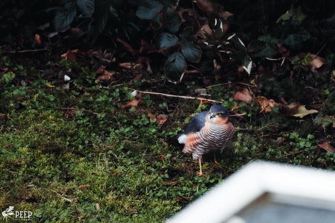 https://img.ewelt.org/pics/upashi/Tiere/Birds/2018/20180324_071423_X-T2_2423-Edit.jpg