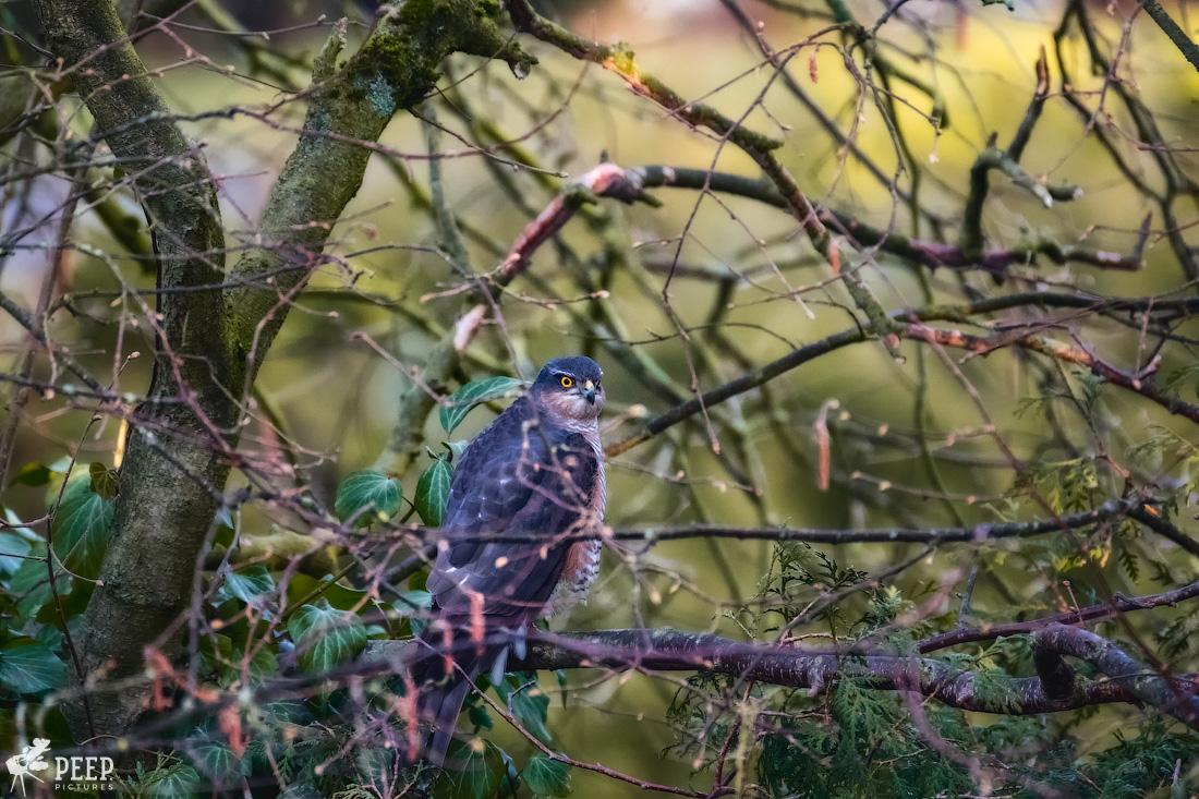 https://img.ewelt.org/pics/upashi/Tiere/Birds/2018/20180324_072108_X-T2_2430-Edit.jpg