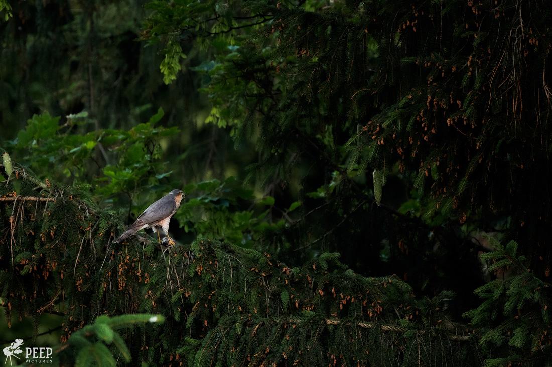 https://img.ewelt.org/pics/upashi/Tiere/Birds/2018/20180607_053020_X-T2_5543-Edit.jpg
