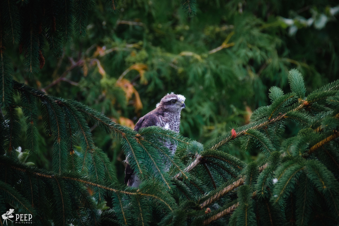 https://img.ewelt.org/pics/upashi/Tiere/Birds/2018/20180623_185544_X-T2_5804-Edit.jpg