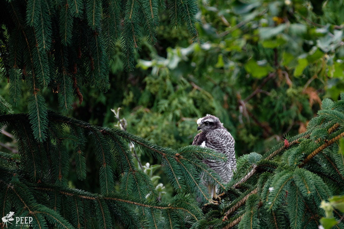 https://img.ewelt.org/pics/upashi/Tiere/Birds/2018/20180623_185648_X-T2_5834.jpg