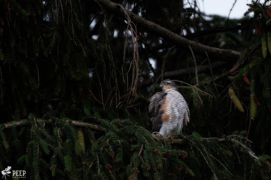 https://img.ewelt.org/pics/upashi/Tiere/Birds/2018/20180624_125458_X-T2_5861-Edit.jpg