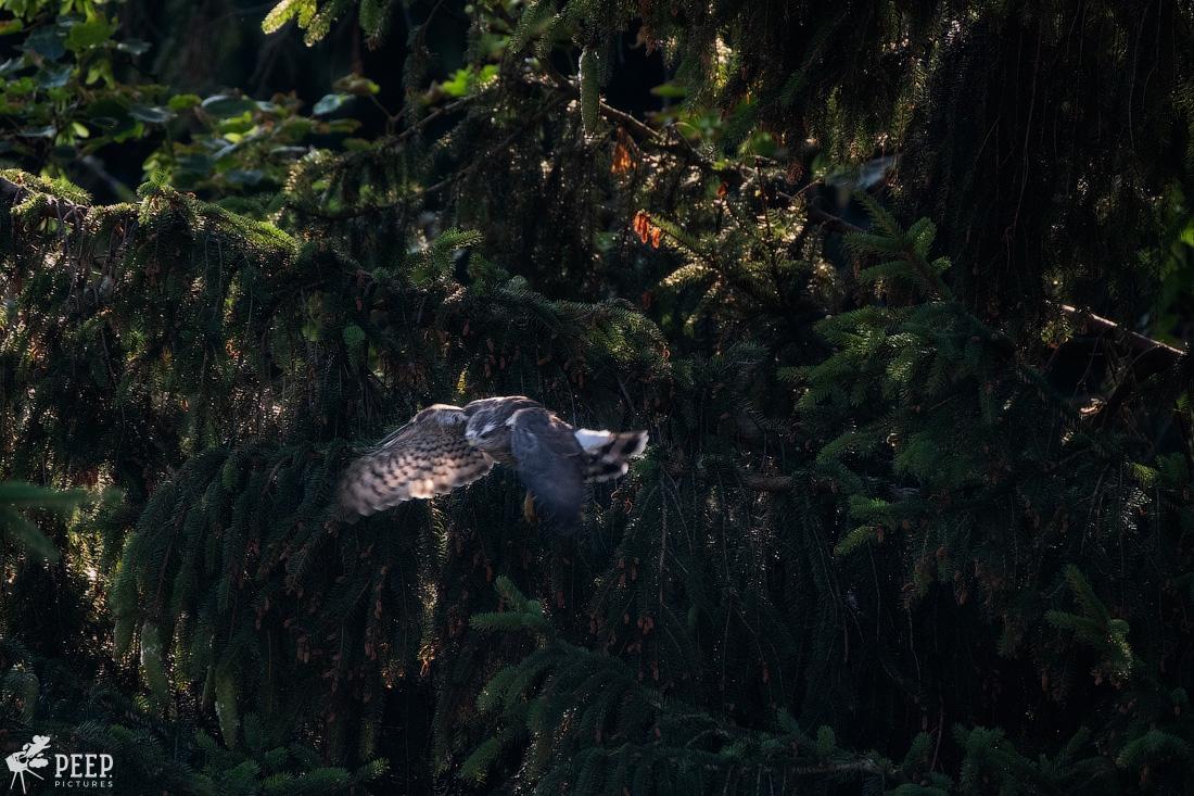https://img.ewelt.org/pics/upashi/Tiere/Birds/2018/20180626_192447_X-T2_5935-Edit.jpg