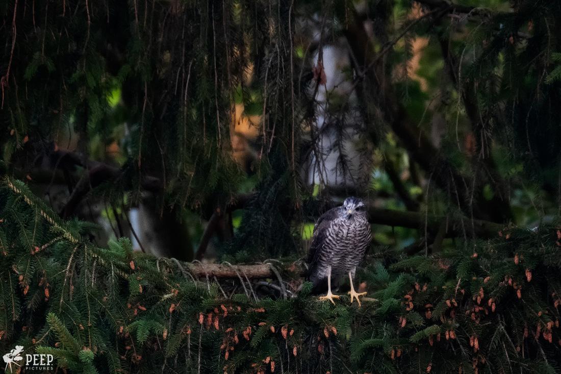 https://img.ewelt.org/pics/upashi/Tiere/Birds/2018/20180627_053803_X-T2_6038-Edit.jpg