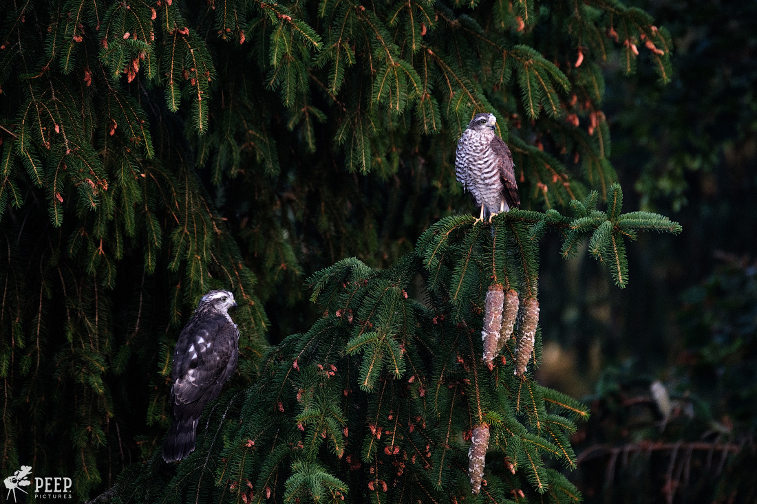 https://img.ewelt.org/pics/upashi/Tiere/Birds/2018/20180627_054051_X-T2_6060.jpg