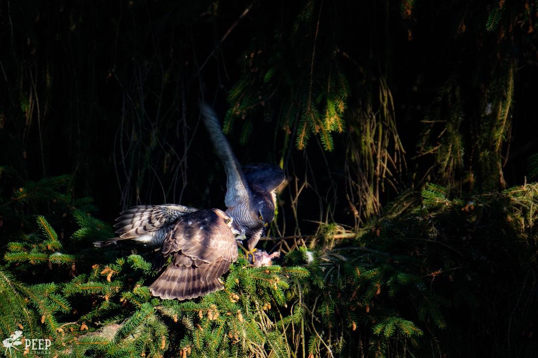 https://img.ewelt.org/pics/upashi/Tiere/Birds/2018/20180627_074713_X-T2_6094-Edit.jpg