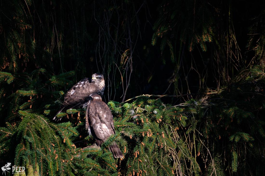 https://img.ewelt.org/pics/upashi/Tiere/Birds/2018/20180627_074941_X-T2_6121.jpg